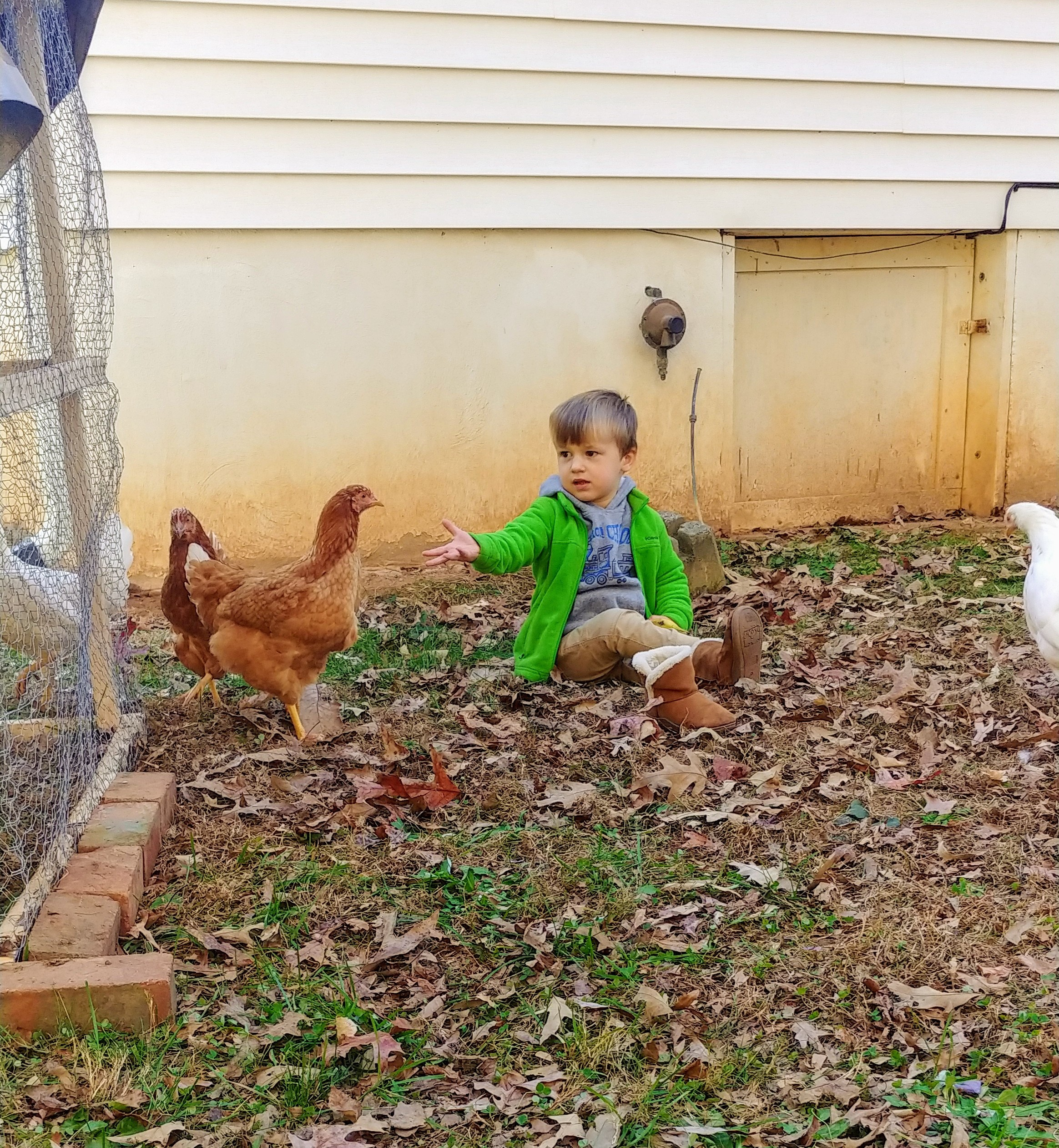 backyard chicken, modern homesteading
