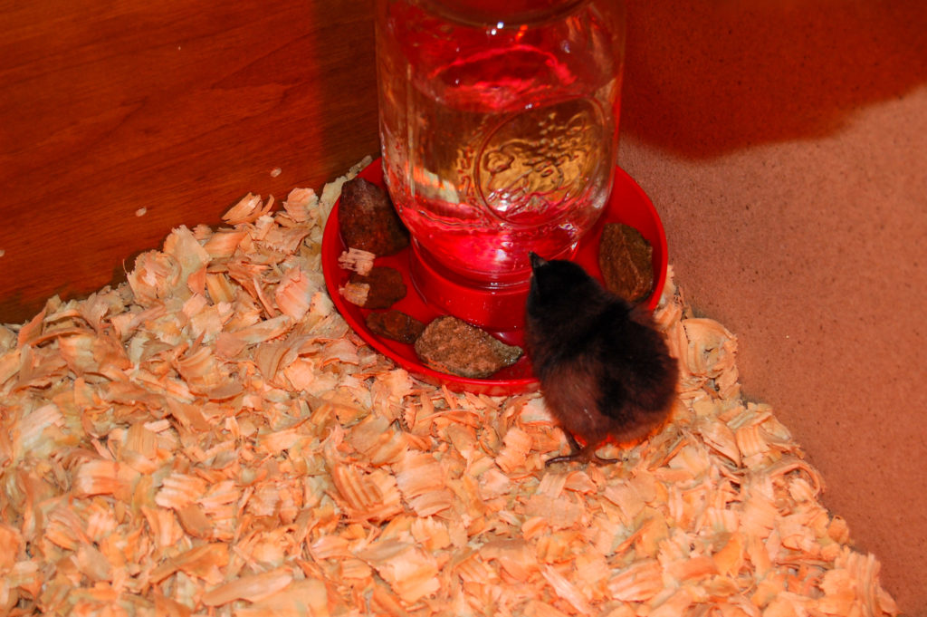 how to care for baby chicks waterer